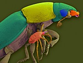Carrion beetle and phorectic mite, SEM