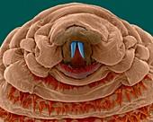 Bot fly larva, SEM