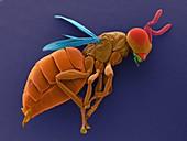 Male parasitic wasp, SEM