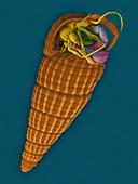 Hermit crab (Pagurixus sp.), SEM