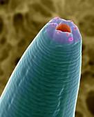 Soil nematode stomodeum (Caenorhabditis elegans), SEM