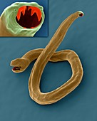 Dog hookworm (Ancylostoma caninum), SEM