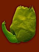 Euryhaline rotifer (Brachionus plicatilis), SEM