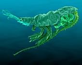 Marine Copepod (Pleuromamma sp.), SEM