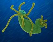 Hydra sp. budding (Cnidarian), SEM