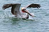 Brown pelican landing on water