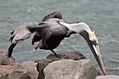 Brown pelican preening