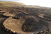 Vineyard in lava rock dugouts, Canary Islands