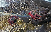 Rock crabs (Grapsus adscensionis)