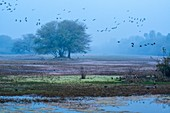 Birds over marshland, India