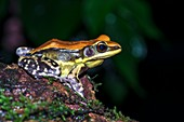 Fungoid frog on damp rock