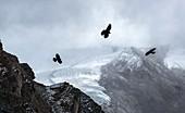 Alpine choughs and Gorner glacier, Switzerland