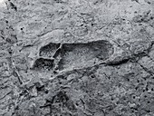 Hominid footprint