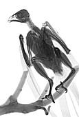 Buzzard, X-ray