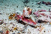 Papuan cuttlefish courtship
