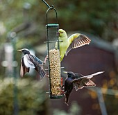 Ring-necked parakeets and starling, London, UK