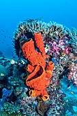 Sea sponge growing on coral