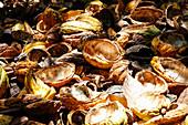 Pile of cocoa pod rinds (Theobroma cacao)