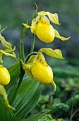 Yellow lady's slipper in flower
