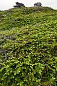 Dwarf coastal coniferous vegetation