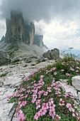 Cinquefoil (Potentilla nitida) in flower on mountainside