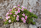 Moss campion (Silene acaulis) in flower