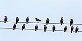 Starlings on telegraph wires