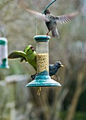 Ring-necked parakeet and starlings on a bird feeder