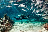 Diver and school of jackfish
