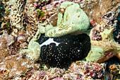 Cowrie sea snail feeding on coral