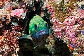 Specklefin grouper hiding in coral