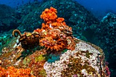 Tasseled scorpionfish camouflaged on coral