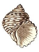 Turbo seashell
