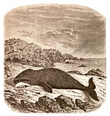 Beached or stranded Northern whale