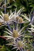 Eryngium x tripartitum flowers