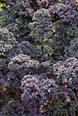 Brassica oleracea acephala 'Redbor'