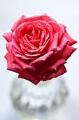 Rose (Rosa 'Barbados')