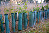 Row of tree saplings