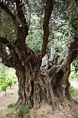 A 2000 year old olive tree with vines near Lugné (Cessenon-s-Orb, AOC St. Chinian)