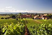 View across vineyard to Bonvillars and lake