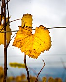 Autumnal vine leaf on the vine