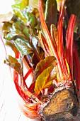 Organic red stalk chard