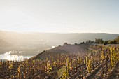 Evening views on the Hill of Hermitage looking out over the Rhône valley (France)