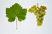 The Petite Arvine grape with a vine leaf