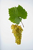 The Gwäss or Gouais blanc very old Hunnic grape variety that was commonly used in the past