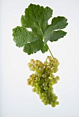 The Rousanne grape with a vine leaf