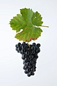 The Durize or Rouge de Fully grape with a vine leaf