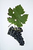 The Carminoir grape with a vine leaf