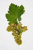 The Altesse grape with a vine leaf