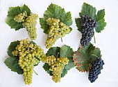 Various old Valais grape varieties with wine leaves